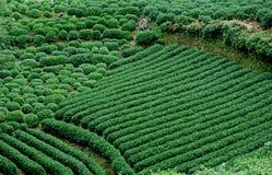 Green tea field Royalty Free Stock Photography