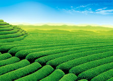 Green tea field Royalty Free Stock Image