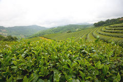 Green Tea Field At Chiang Rai Thailand. Royalty Free Stock Images