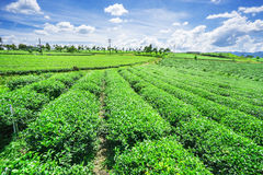 Green tea field Royalty Free Stock Images