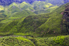 Green tea field Cameron Highlands Royalty Free Stock Images