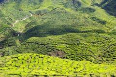 Green tea field in Cameron Highlands Stock Photos