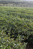 Green Tea Field , Chiangrai In Thailand Stock Photos