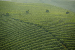 Green tea field Royalty Free Stock Photo