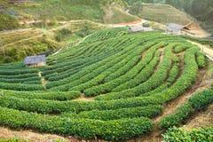 Green tea field in Doi Angkhang, Chiang mai, Thailand. Royalty Free Stock Image