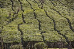 Green tea field Stock Photography