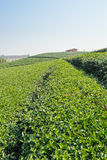 Green tea field on hill and red house, Chiang Rai Royalty Free Stock Photo