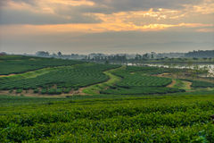 Green tea field in the morning sunrise Royalty Free Stock Photo