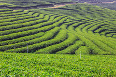 Green tea field Stock Image