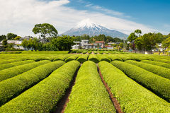 Green Tea Field With Mt Fuji Royalty Free Stock Photo