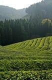 Green Tea Fields. On a hillside in boseong, south korea Stock Photo