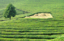 Green tea fields. Green tea plantation in asia with a traditional burial site Stock Images