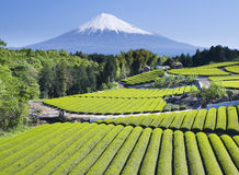 Green tea Fields. Rows of fresh green tea with Mount Fuji Royalty Free Stock Image