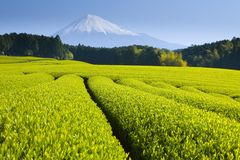 Green tea fields. Spread out below Mt. Fuji Royalty Free Stock Photos