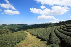 Green Tea Fields Royalty Free Stock Image