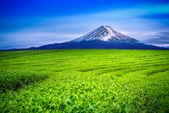 Green tea fields and Fuji mountain in Japan.  royalty free stock image