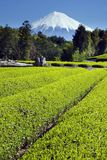 Green tea Fields III. Fields of new green tea in Spring with Mount Fuji Stock Images