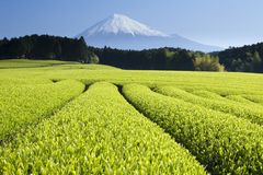 Green Tea Fields V. Fresh Green tea fields spread out below Mount Fuji Royalty Free Stock Image
