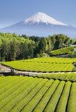 Green Tea Fields V. Rows of fresh green tea with Mt. Fuji Stock Photography