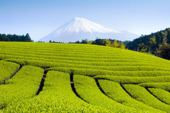Green Tea Fields VI royalty free stock images