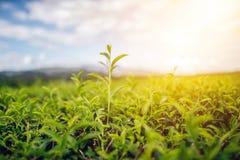 Green Tea and Fresh Leaf Tea The sun shines the sky stock images
