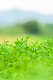 Green tea and fresh leaves. Green tea and fresh green leaves Stock Images