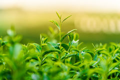 Green tea and fresh leaves. Green tea and fresh green leaves Royalty Free Stock Photography