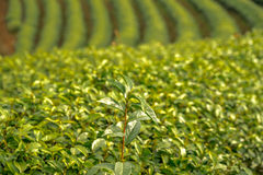 Green tea fresh leaves. Harvesting tea plantation. Royalty Free Stock Images