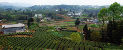 Green tea garden Stock Image