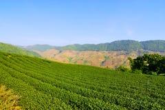 Green Tea garden in Chiang Rai Thailand Stock Images