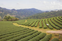 Green tea garden royalty free stock image