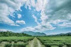Green tea garden stock photo