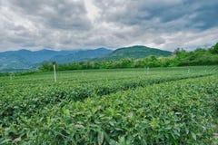 Green tea garden royalty free stock photography