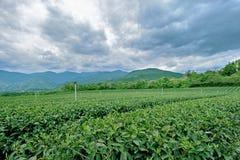 Green tea garden royalty free stock photo
