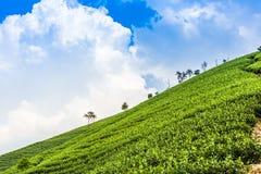 Green tea garden on the hill Stock Photo