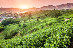 Green tea garden on the hill. China Royalty Free Stock Photo