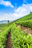 Green tea garden on the hill Stock Images