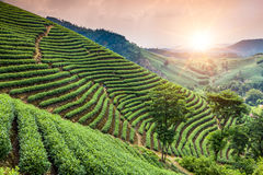 Green tea garden on the hill Royalty Free Stock Image