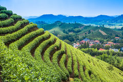 Green tea garden on the hill Royalty Free Stock Images