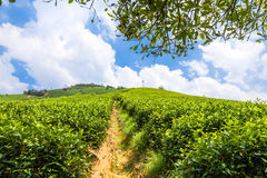 Green tea garden on the hill Royalty Free Stock Photos