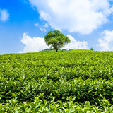 Green tea garden on the hill Royalty Free Stock Photography