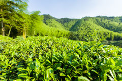 Green tea garden on the hill,China south Royalty Free Stock Photography