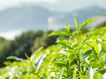 Green tea garden on the hill,China south Stock Photography