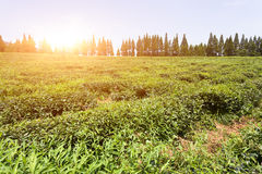 Green tea garden on the hill, china south Stock Images