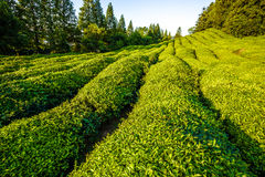 Green tea garden on the hill Stock Photos