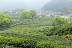 Green tea garden scenery Stock Image