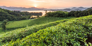 Green tea garden in sunset,China south Stock Photography