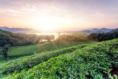 Green tea garden in sunset,China south Stock Image