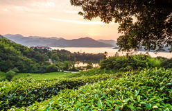 Green tea garden in sunset,China south Stock Photo