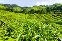 Green tea garden in sunset,China south Royalty Free Stock Images